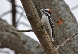 Hairy Woodpecker - Black Creek Park - © Dick Horsey - Jan 27, 2017