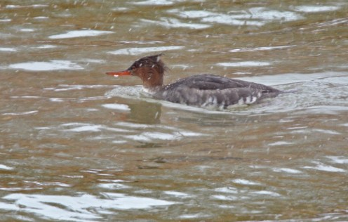 Red-breasted Merganser - Irondequoit Bay Outlet - © Dick Horsey - Jan 31, 2017