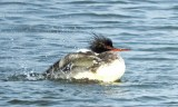 Red-breasted Merganser - Irondequoit Bay Outlet - © Eunice Thein - Feb 03, 2017