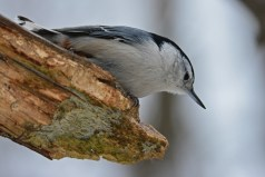 White-breasted Nuthatch - Mendon Ponds Park - © Dick Horsey - Feb 06, 2017