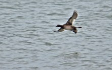 White-winged Scoter (Juv) - Irondequoit Bay Outlet - © Dick Horsey - Feb 11, 2017