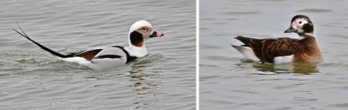 Long-tailed Duck (M/F) - Irondequoit Bay Outlet - © Dick Horsey - Feb 11, 2017