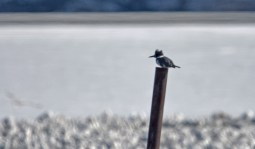 Belted Kingfisher - Irondequoit Bay Outlet - © Dick Horsey - Feb 17, 2017