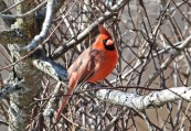 Northern Cardinal - Whiting Road Nature Preserve - © Dick Horsey - Feb 18, 2017
