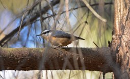 Red-breasted Nuthatch - Owl Woods - © Dick Horsey - Feb 19, 2017