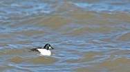 Common Goldeneye - Hamlin Beach Park - © Dick Horsey - Feb 20, 2017