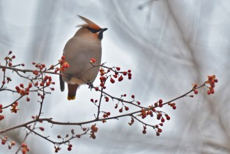 Bohemian Waxwing - Whiting Road Nature Preserve - © Dick Horsey - Feb 26, 2017