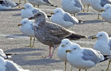Herring Gull (1st winter) with Ring-billed Gull - Hamlin - © Candace Giles - Mar 05, 2017