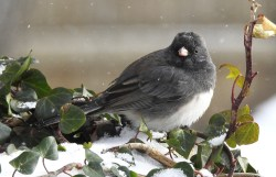 Dark-eyed Junco - Irondequoit - © Candace Giles - Mar 11, 2017