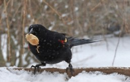 Red-winged Blackbird - Irondequoit - © Eunice Thein - Mar 14, 2017