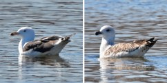 Great Black-backed Gull (Adult/1stWinter) - Irondequoit Bay Outlet - © Dick Horsey - Mar 17, 2017