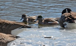 American Wigeon - North Ponds Park - © Dick Horsey - Mar 22, 2017