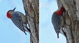 Red-bellied Woodpecker - Highland Park - © Dick Horsey - Mar 23, 2017