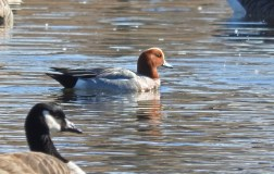 Eurasian Wigeon - North Ponds Park - © Eunice Thein - Mar 23, 2017