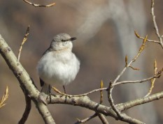 Northern Mockingbird - Sandbar Park - © Eunice Thein - Mar 28, 2017