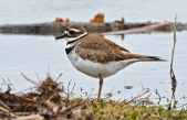 Killdeer - North Ponds Park - © Dick Horsey - Apr 05, 2017