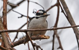 Downy Woodpecker - Whiting Road Nature Preserve - © Dick Horsey - Apr 05, 2017