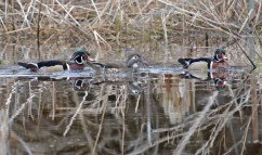 Wood Duck - Whiting Road Nature Preserve - © Dick Horsey - Apr 05, 2017