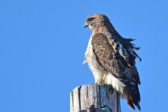Red-tailed Hawk - LaSalle Landing Park - © Dick Horsey - Apr 09, 2017