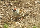 Chipping Sparrow - Irondequoit - © Eunice Thein - Apr 09, 2017