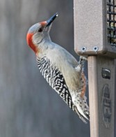 Red-bellied Woodpecker (F) - Fairport - © Wes Boyce - Apr 16, 2017