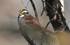 White-throated Sparrow - Mendon Ponds - © Dick Horsey - Apr 17, 2017
