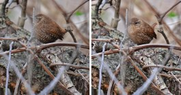 Winter Wren - Cobbs Hill - © Dick Horsey - Apr 18, 2017