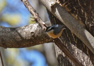 Red-breasted Nuthatch - Cobbs Hill - © Dick Horsey - Apr 24, 2017