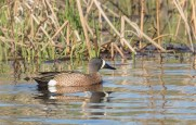 Blue-winged Teal - Montezuma NWR - © Brett Hoffman - Apr 26, 2017