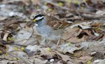 White-throated Sparrow - Cobbs Hill - © Dick Horsey - Apr 28, 2017