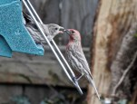 House Finch (F/M) - Irondequoit - © Candace Giles - Apr 29, 2017