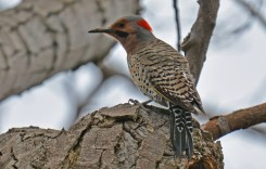 Northern Flicker - Lakeview Community Church Trail (RBA field trip) - © Dick Horsey - Apr 29, 2017