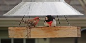 House Finch (L) and Rose-breasted Grosbeak (R) - Greece - © Carol Shay - May 01, 2017