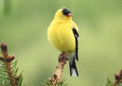 American Goldfinch - Irondequoit - © Eunice Thein - May 01, 2017