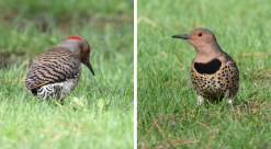 Northern Flicker - Cobbs Hill - © Dick Horsey - May 02, 2017