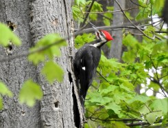 Pileated Woodpecker - Cobbs Hill (RBA Field Trip) - © Candace Giles - May 03, 2017