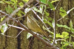 Ruby-crowned Kinglet - Cobbs Hill (RBA Field Trip) - © Candace Giles - May 03, 2017