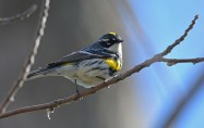 Yellow-rumped Warbler - Lakeview Community Church Trail - © Dick Horsey - May 03, 2017