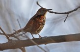 Brown Thrasher - Lakeview Community Church Trail - © Dick Horsey - May 03, 2017
