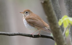 Veery - Cobbs Hill - © Dick Horsey - May 04, 2017
