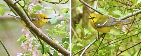 Blue-winged Warbler - Durand Eastman Park - © Eunice Thein - May 04, 2017