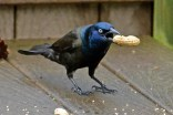 Common Grackle - Webster - © Peggy Mabb - May 06, 2017