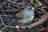 Dark-eyed Junco - Webster - © Peggy Mabb - May 06, 2017