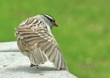 White-crowned Sparrow - Irondequoit - © Eunice Thein - May 12, 2017