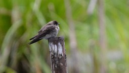 Northern Rough-winged Swallow - Auburn Trail (RBA field trip) - © Dick Horsey - May 13, 2017