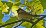 Bay-breasted Warbler - Cobbs Hill - © Dick Horsey - May 15, 2017