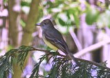 Great Crested Flycatcher - Penfield - © Carolyn Ragan - May 15, 2017
