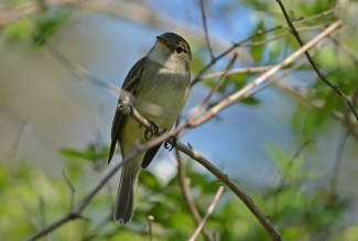 Least Flycatcher - Beatty Point - © Dick Horsey - May 17, 2017