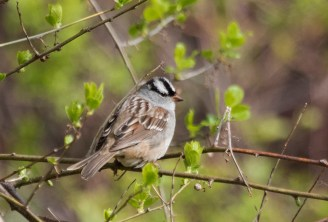 White-crowned Sparrow - Braddock Bay West Spit - © Glen Miller - May 19, 2017