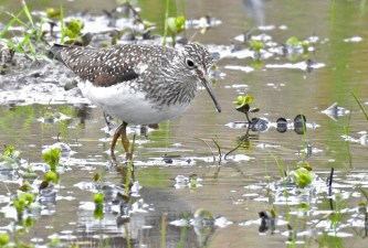 Solitary Sandpiper - Ellison Park - © Candace Giles - May 19, 2017